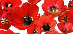 Dekor Feel colorgloss tulipán 20x50