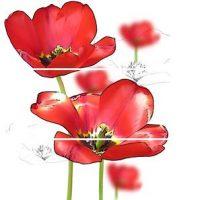 Dekor Feel colorgloss tulipán 3x 60x50